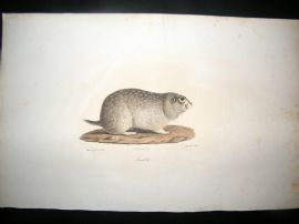 Saint Hilaire & Cuvier C1830 Folio Hand Colored Print. Souslik Ground Squirrel